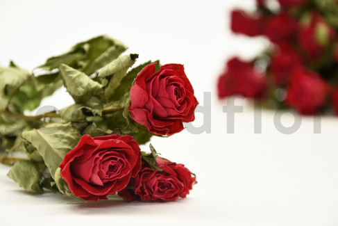 Rose séchée - Bouquet 20 Tiges - Rouge