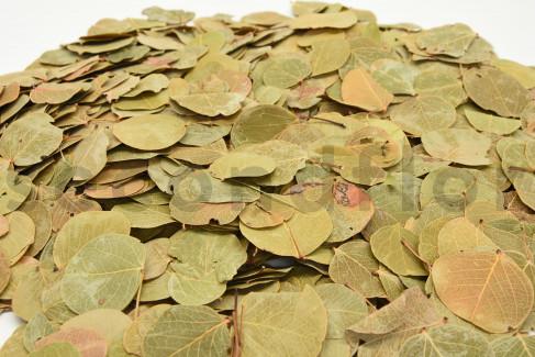Preserved Fohla Moeda - Bag of 100 - Natural