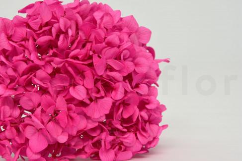 Hortensia Stabilisé - Pastel Shocking Pink