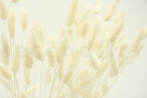 Lagurus Ovatus séché - 1 Bouquet - Blanc