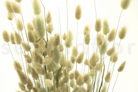 Lagurus Ovatus séché - 1 Bouquet - Naturel