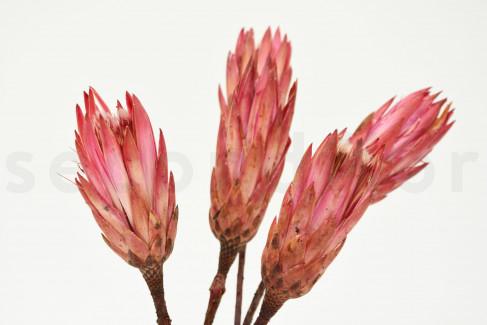 Protea Repens séchée - 5 Tiges - Rose