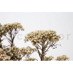 Diosmi Stabilisé - Naturel