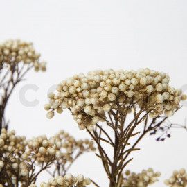 Preserved Diosma - Natural