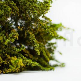 Solidago Stabilisé - Vert