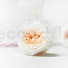 Rose Anglaise Stabilisée M - Boîte de 8 - Blanc + Pêche