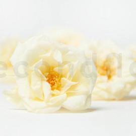 Rose Sauvage Stabilisée M - Boîte de 12 - Jaune Clair