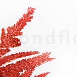 Fougère Plume Stabilisée - Rouge