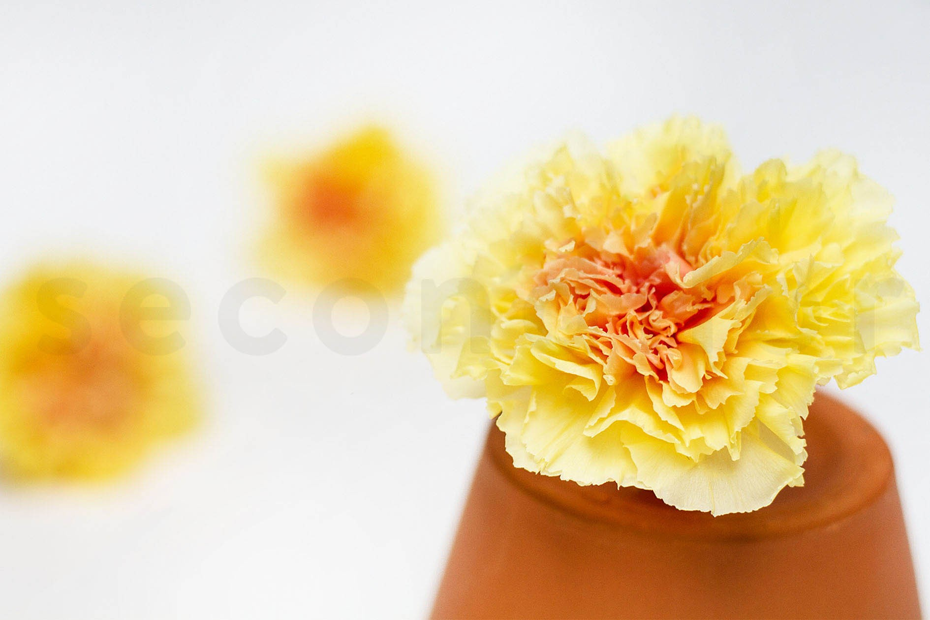 Yellow Preserved Carnations Secondflor