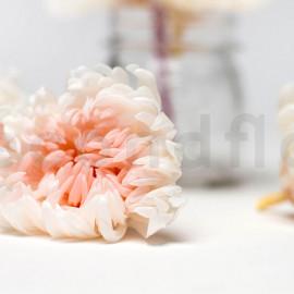 Crisantemo preservado XL - Caja de 6 - Blanco + Rosa