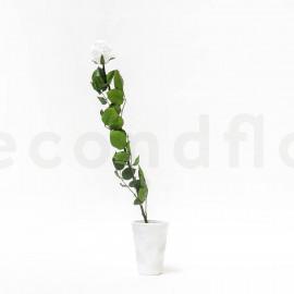 Preserved Rose on Stem L box of 1 - Jumbled - White