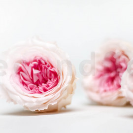 Preserved English Rose - XL box of 3 - Cream + Pink