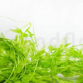 Fougère Aquatique Stabilisée - Vert