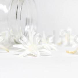 Tubéreuse Stabilisée S boîte de 12 - Blanc