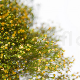 Preserved Broom flower - Green