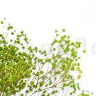 Gypsophile Stabilisée - Vert