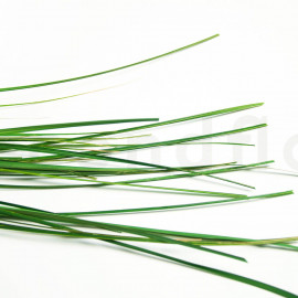 Gynerium Stabilisé - Vert