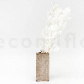 Ruscus Stabilisé - Blanc