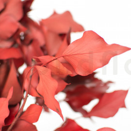 Lierre Stabilisé - Rouge
