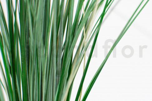BearGrass (Hierba de Oso) Preservada - Verde