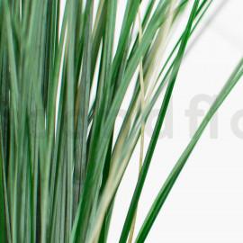 Bear Grass Stabilisé - Vert