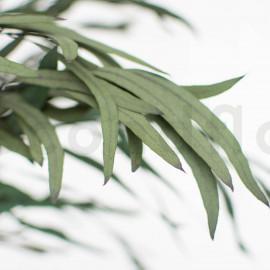 Eucalipto Nicoly Preservado - Verde