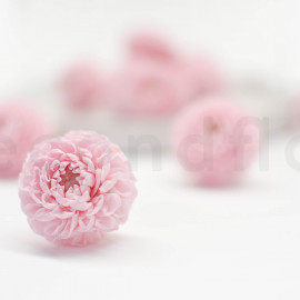 Preserved Dahlia S - Box of 12 - Light Pink