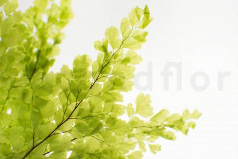 Stabilisierte Lutti Farn - Hellgrün