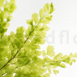 Fougère Lutti Stabilisée - Vert clair