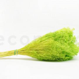 Broom préservé - Vert Clair