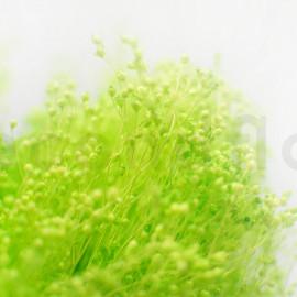 Broom stabilisé - Vert Clair