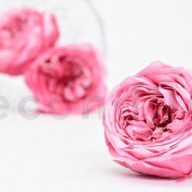Rose Anglaise Stabilisée XL boîte de 6 - Rose panaché rose + rose clair