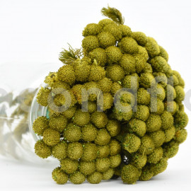 Brunia Albiflora stabilisé - Vert Clair
