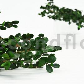 Buis Stabilisé - Vert