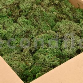 Lichen Scandinave sans tête / Partie Inférieure - Vert Nature