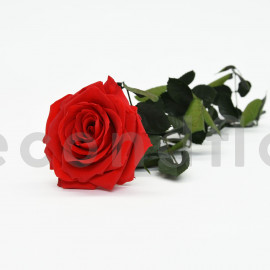 Preserved Rose on Stem Premium - Red