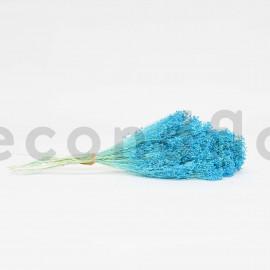 Broom préservé - Bleu