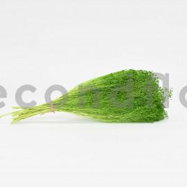 Broom préservé - Vert