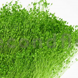 Broom stabilisé - Vert