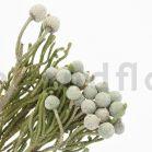 Brunia Nodiflora stabilisé - Gris vert