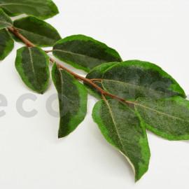 Eleagnus stabilisé - Vert