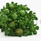 Carthame stabilisée - Vert