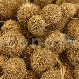 Fruit de platane - Sachet 250 gr - Or