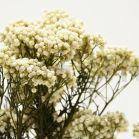 Diosmi stabilisé - Bouquet 100gr - Naturel