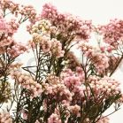 Diosmi stabilisé - Bouquet 100gr - Rose