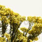 Diosmi stabilisé - Bouquet 100gr - Jaune