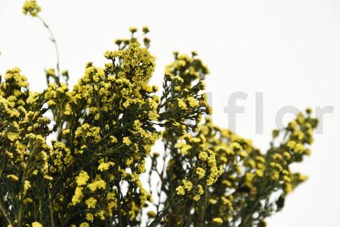 Phylica Stabilisé - Bouquet 150 gr - Jaune