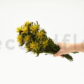 Plumosum femelle stabilisé - Bouquet 150gr - Jaune